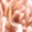 Rosa, Goldfarben