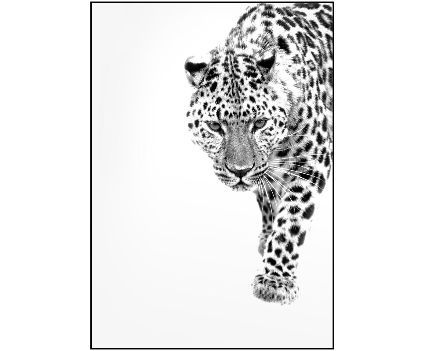 Impresión digital enmarcadaWhite Leopard, Fotografía: impresión digital sobre p, Parte trasera: tablero de fibras de dens, Negro, blanco, An 30 x Al 40 cm