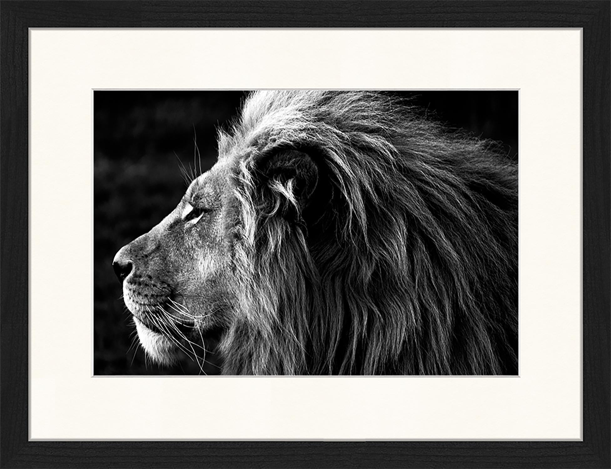 Gerahmter Digitaldruck Lose-Up Of A Lion, Bild: Digitaldruck auf Papier, , Rahmen: Holz, lackiert, Front: Plexiglas, Schwarz, Weiß, 43 x 33 cm