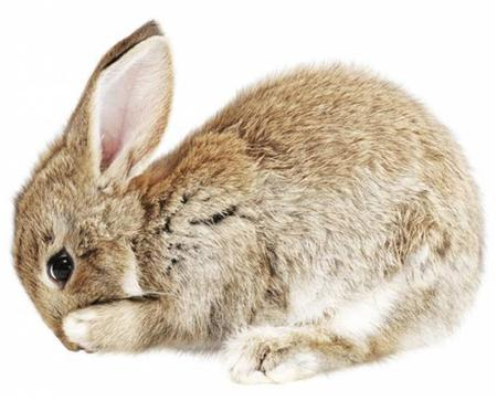 Sticker mural Baby Rabbit