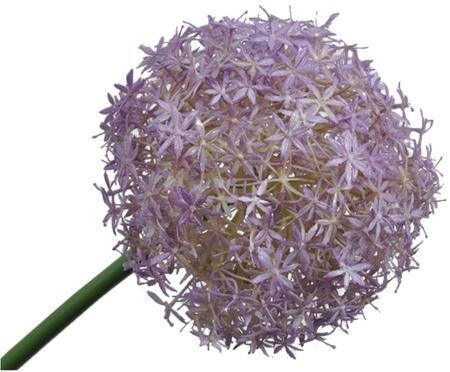 Fleur de poireau artificielle Livia