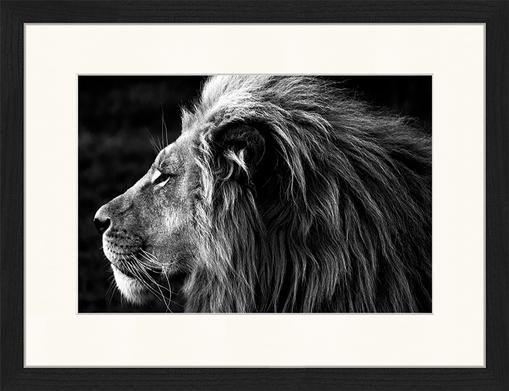 Impresión digital enmarcada Lose-Up Of A Lion